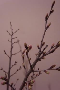 桜を生ける_d0104091_19295257.jpg