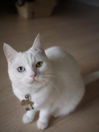 猫のお友だち リュウちゃんちびくんさくらちゃん編。_a0143140_052494.jpg
