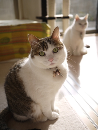 猫のお友だち リュウちゃんちびくんさくらちゃん編。_a0143140_08197.jpg