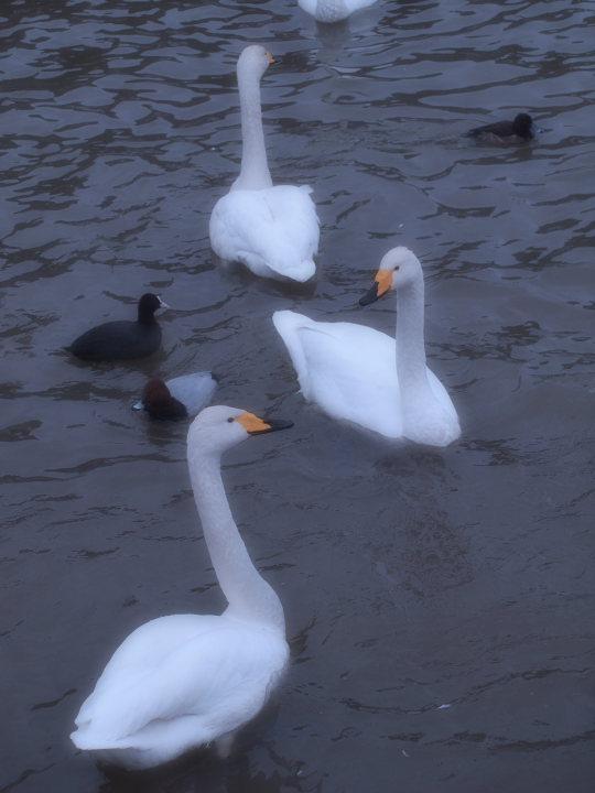 長嶺大池の白鳥_e0169421_2158484.jpg