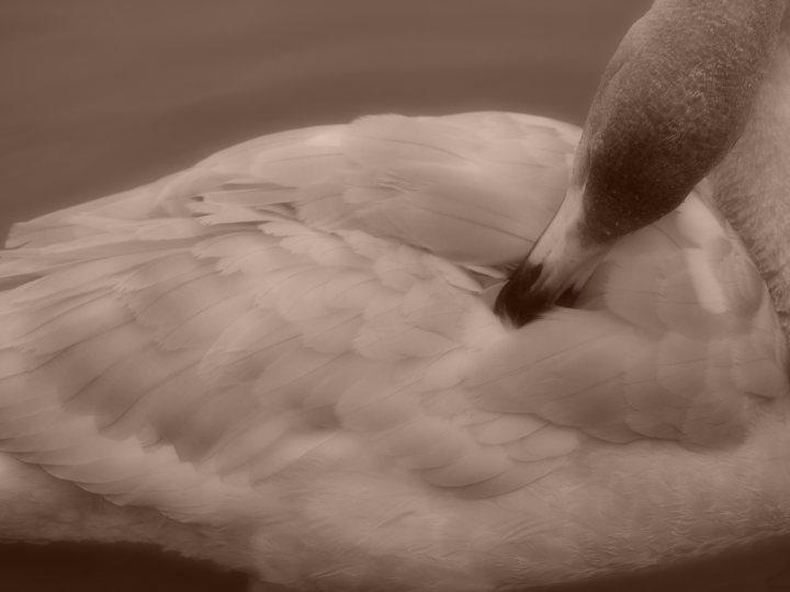 長嶺大池の白鳥_e0169421_21593751.jpg