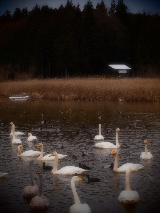 長嶺大池の白鳥_e0169421_21595832.jpg