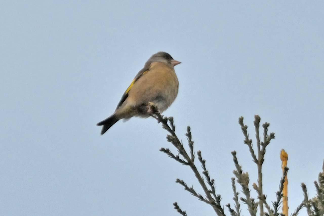 今年は冬鳥が非常に少ない_c0129047_22245863.jpg