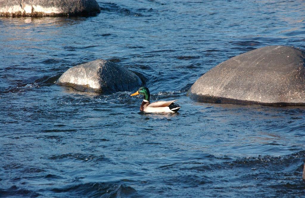 水鳥を狙うぞ・・・その1_b0029350_23134421.jpg