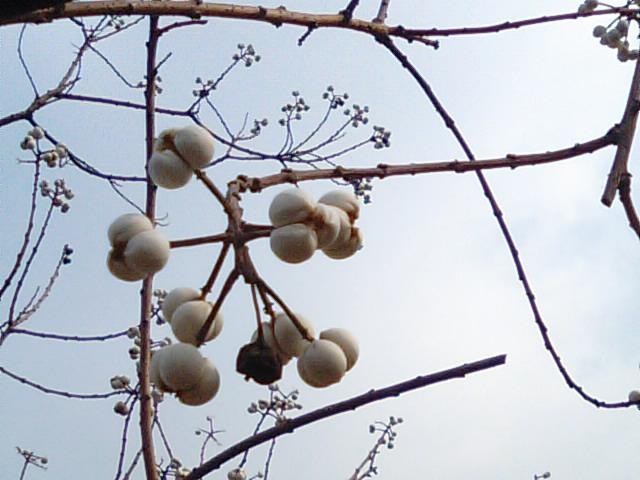 ナンキンハゼの実とロウの作り方…2012/1/18_f0231709_7551355.jpg