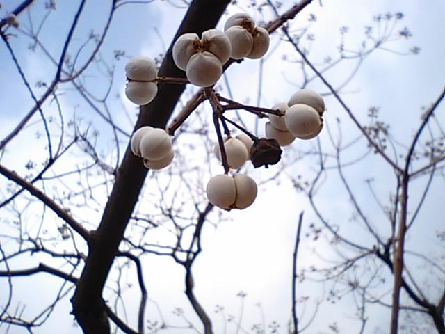 ナンキンハゼの実とロウの作り方…2012/1/18_f0231709_804774.jpg