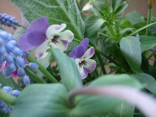 オークリーフ(エンドウと春の小さな球根花のアレンジメント)_f0049672_1465172.jpg