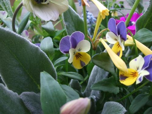 オークリーフ(エンドウと春の小さな球根花のアレンジメント)_f0049672_1471329.jpg