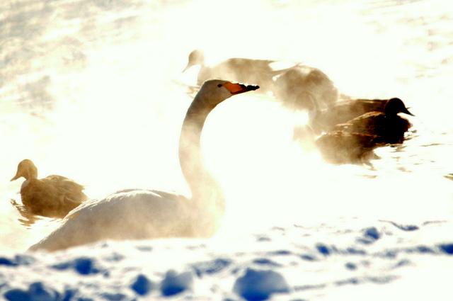 毛嵐の朝のハクチョウ。_b0165760_10234434.jpg