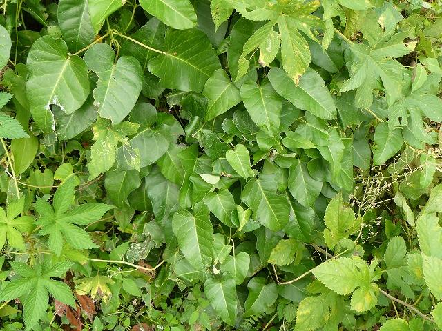 「ギンツバメ」 幼虫かもしれない・・・植物は「ガガイモ」_d0019074_1134966.jpg