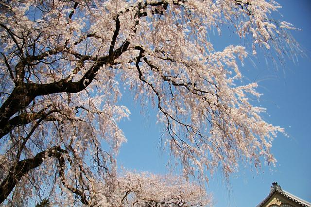 お花見日記 2011_c0196076_11414995.jpg