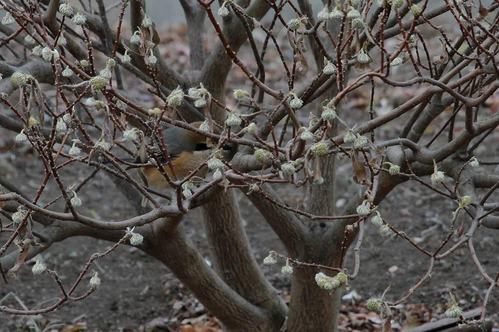 春近し/ネコヤナギ_b0024798_7435316.jpg