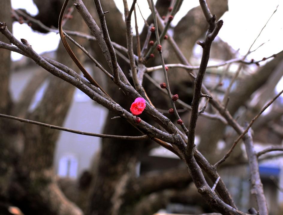 紅梅やっと咲く 2012年1月23日_a0107574_216299.jpg