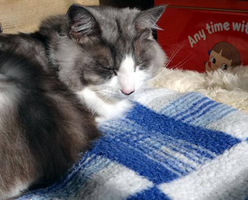 猫部屋のHuu&チョビと、ブラッシング、チョビ玉など♪_a0136293_1610412.jpg