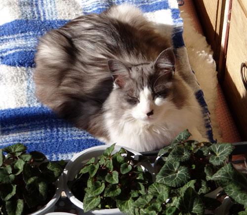 猫部屋のHuu&チョビと、ブラッシング、チョビ玉など♪_a0136293_16144340.jpg