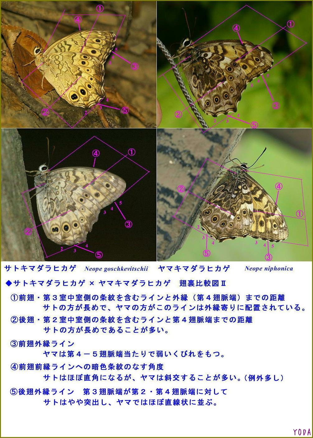 サトキマダラヒカゲ × ヤマキマダラヒカゲ 翅裏比較図Ⅱ_a0146869_22514873.jpg