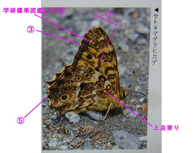 サトキマダラヒカゲ × ヤマキマダラヒカゲ 翅裏比較図Ⅱ_a0146869_23133490.jpg