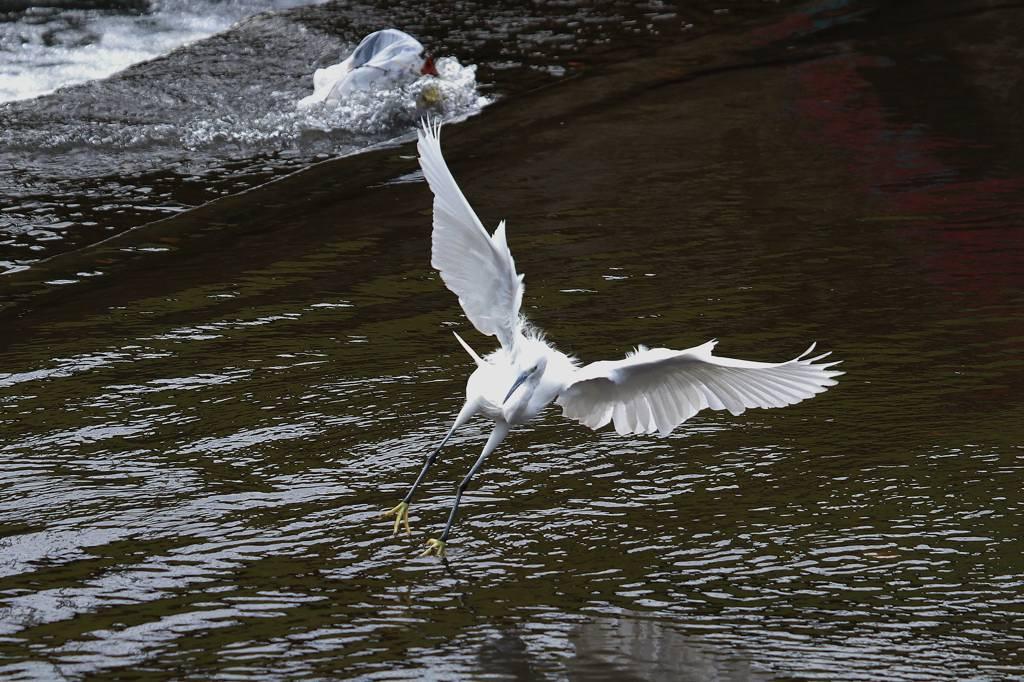 外は真っ白・白い鳥コサギ/カワセミ/大文字_b0024798_7195579.jpg