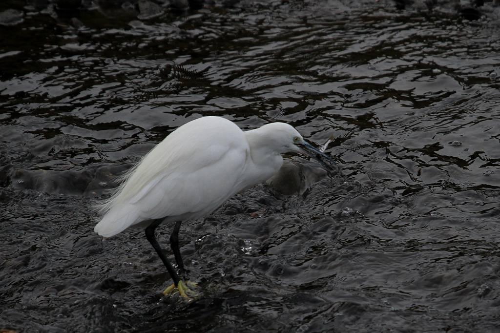 外は真っ白・白い鳥コサギ/カワセミ/大文字_b0024798_7211716.jpg