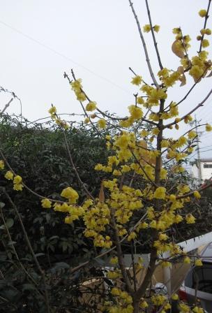 花の地球館で香ったロウバイ_a0243064_11235538.jpg