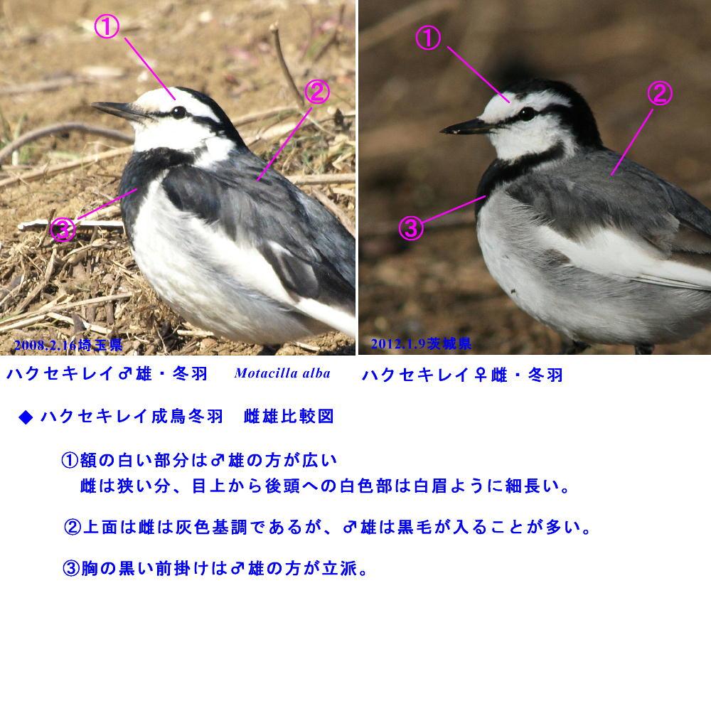 ハクセキレイ  妖精のように白い個体 2012.1.9茨城県_a0146869_239976.jpg
