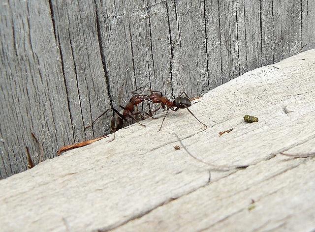 =アリ(蟻)=の一種・・・「エゾアカヤマアリ」_d0019074_1812378.jpg