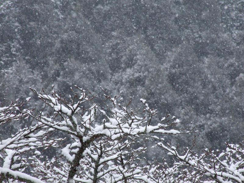 雪桜_b0188175_197522.jpg