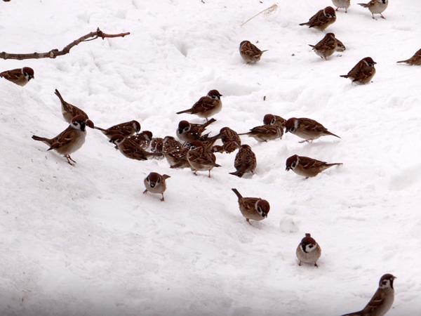 この冬4回めの雪下ろしと、雀ちゃん_a0136293_17373430.jpg