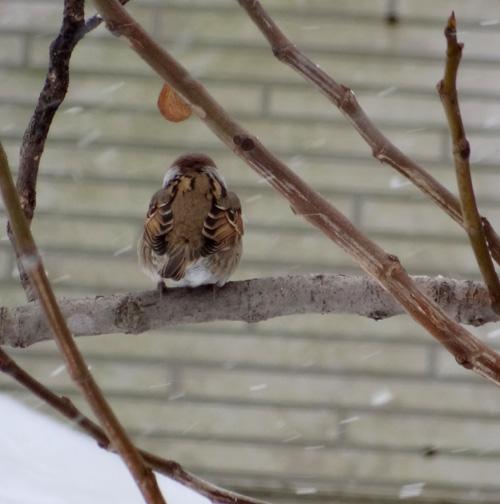この冬4回めの雪下ろしと、雀ちゃん_a0136293_1739122.jpg