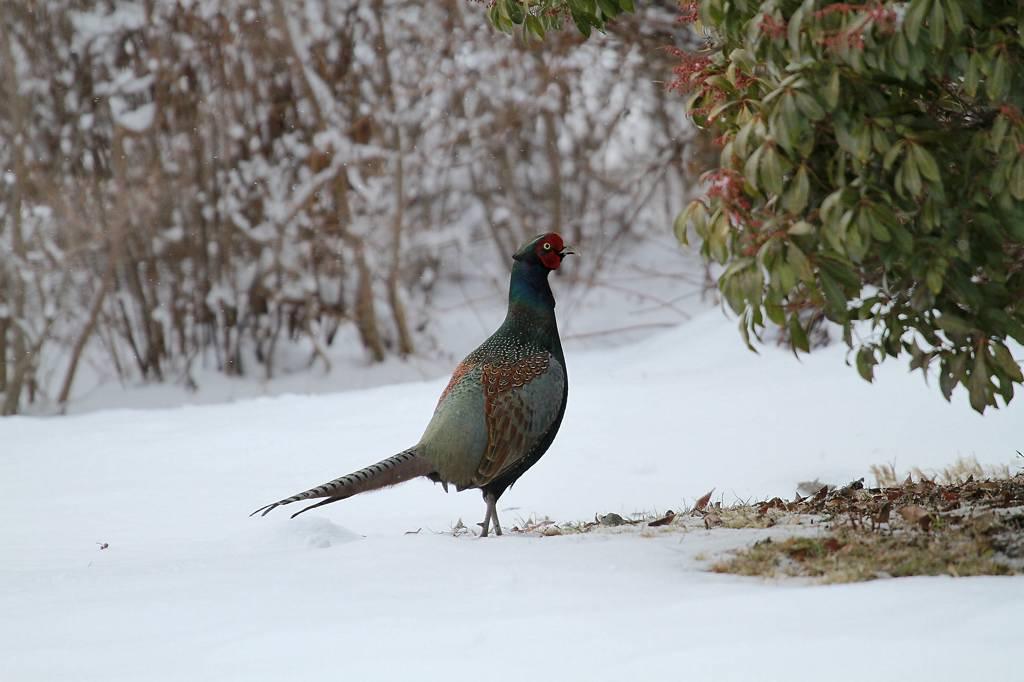 雪上の国鳥キジ_b0024798_9352341.jpg