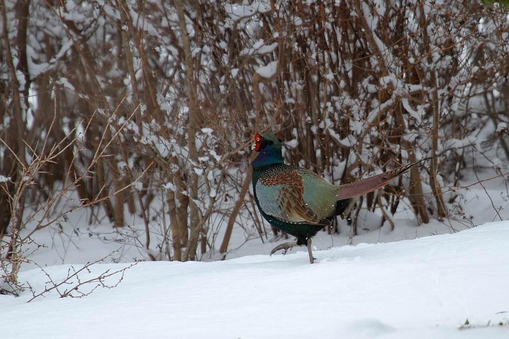 雪上の国鳥キジ_b0024798_9353055.jpg