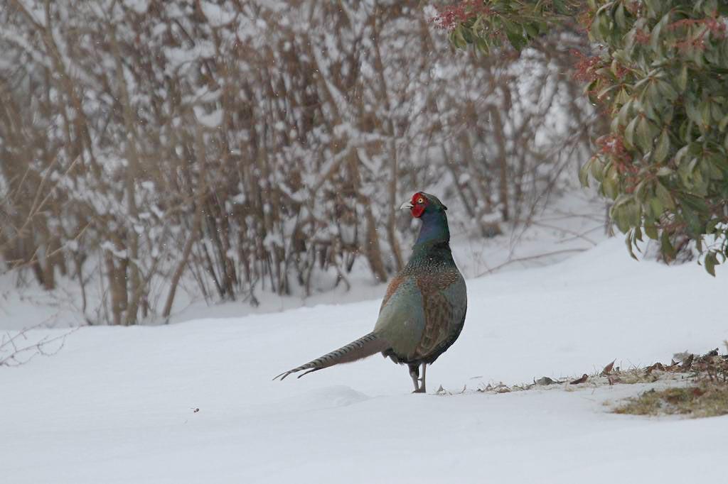 雪上の国鳥キジ_b0024798_935492.jpg