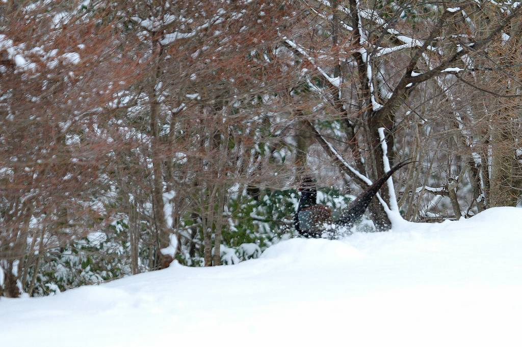 雪上の国鳥キジ_b0024798_936876.jpg