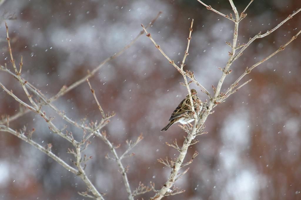 雪カシラダカ/オシドリが戻りました_b0024798_5301329.jpg