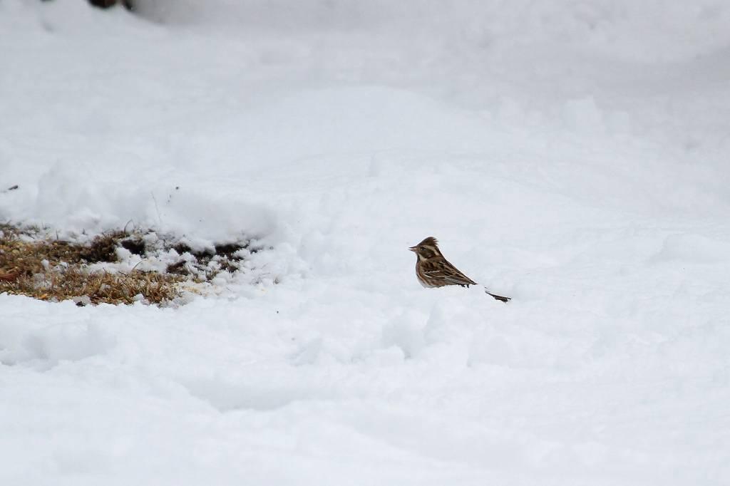 雪カシラダカ/オシドリが戻りました_b0024798_530258.jpg