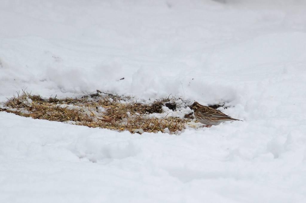 雪カシラダカ/オシドリが戻りました_b0024798_5303594.jpg
