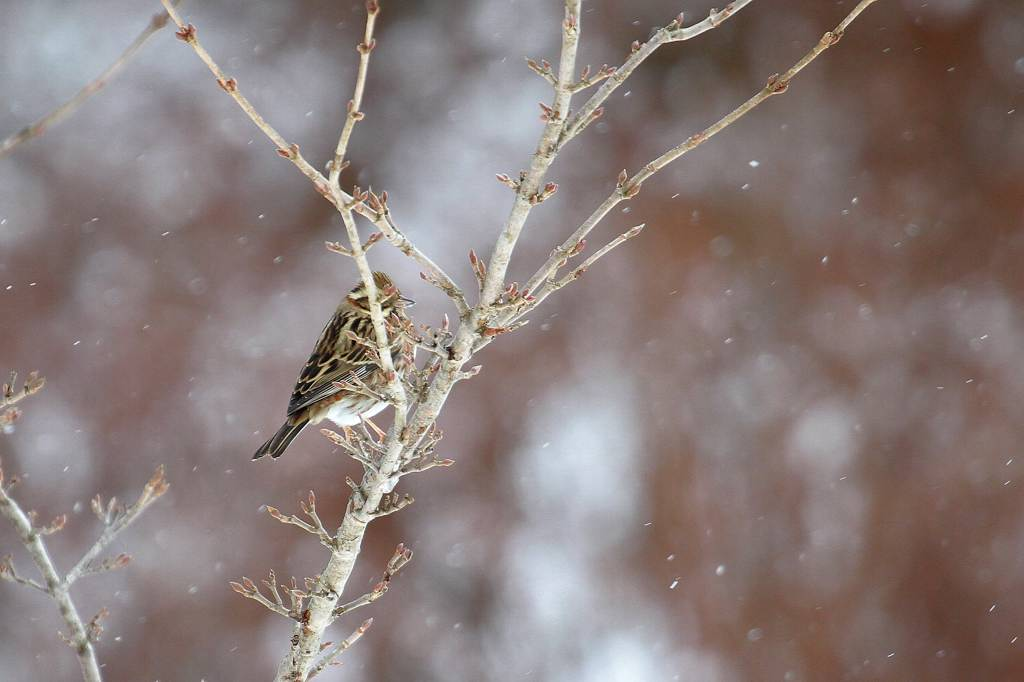 雪カシラダカ/オシドリが戻りました_b0024798_530649.jpg