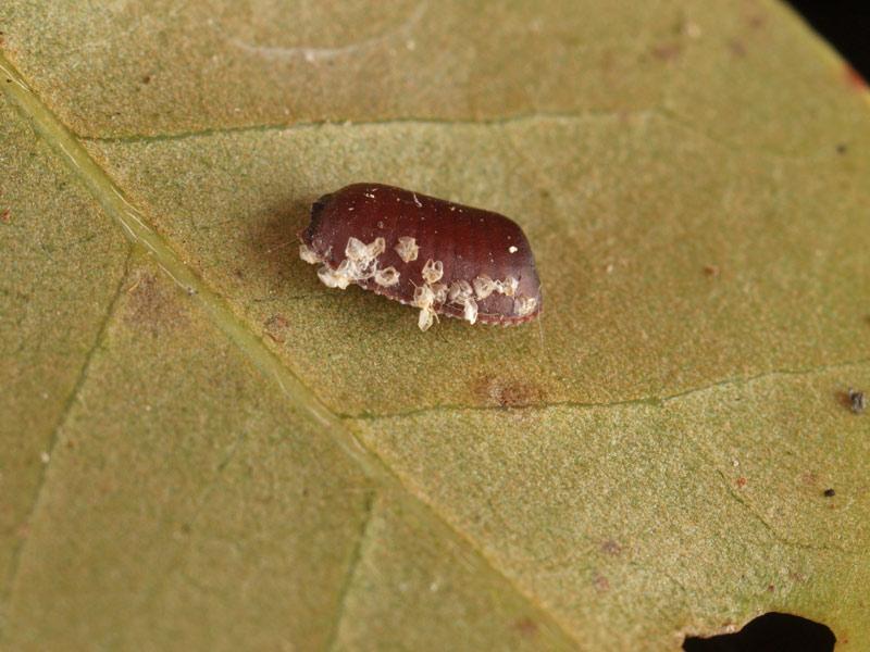 卵 ゴキブリ の