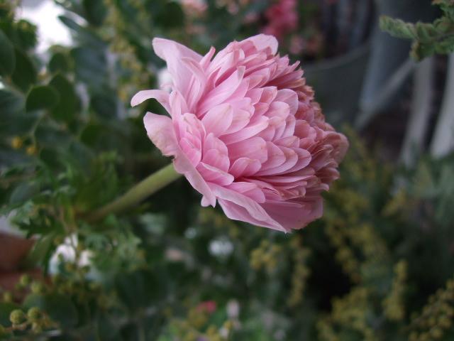 オークリーフ(淡いピンクの花)_f0049672_17475514.jpg
