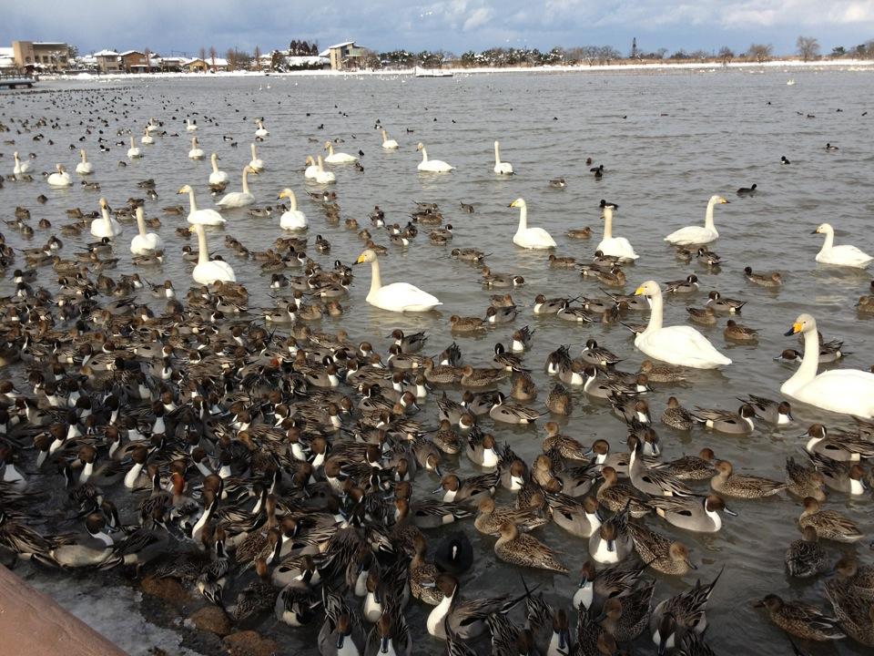 毎年恒例の瓢湖へ_a0126418_8434665.jpg