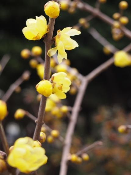 冬の花☆ロウバイ_c0152341_9254249.jpg