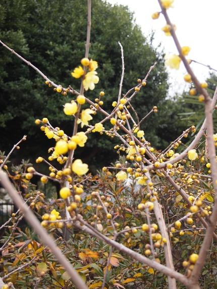 冬の花☆ロウバイ_c0152341_9283577.jpg