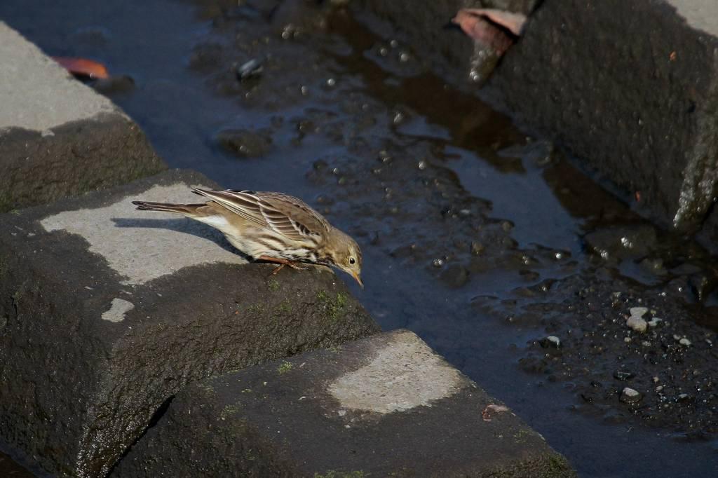 河原にタヒバリ・田圃にヒバリ/昨日のカワセミ_b0024798_946331.jpg