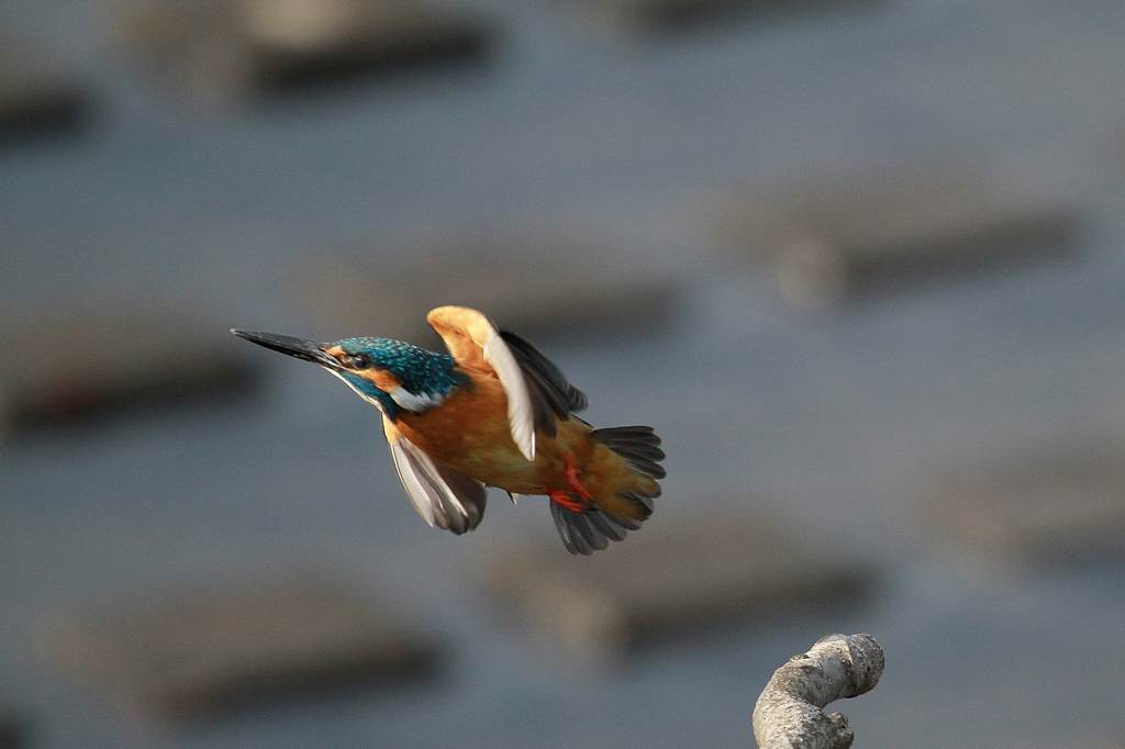 河原にタヒバリ・田圃にヒバリ/昨日のカワセミ_b0024798_9503070.jpg