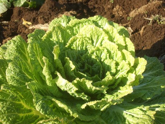 白菜の成長....時期遅れは成長しません。_b0137932_2139281.jpg