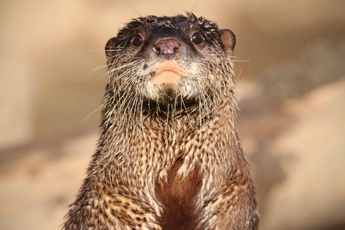コツメカワウソ:Asian Short-clawed otter_b0249597_5342862.jpg