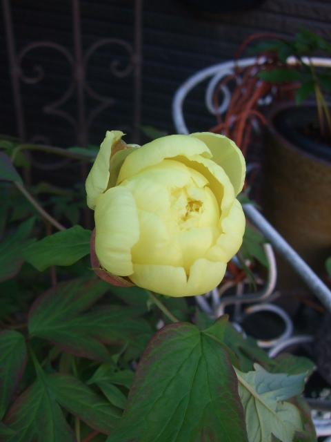 オークリーフ(黄色い牡丹)_f0049672_1137082.jpg