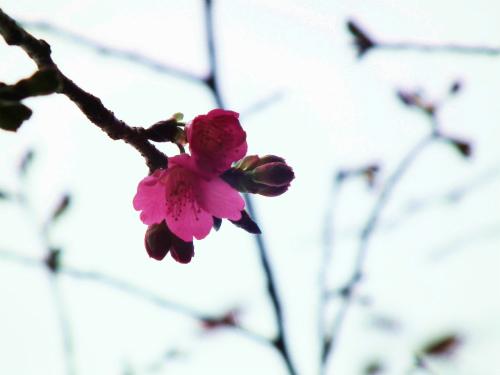 諸鈍の桜はもう少し待ってネ。_e0028387_2240723.jpg