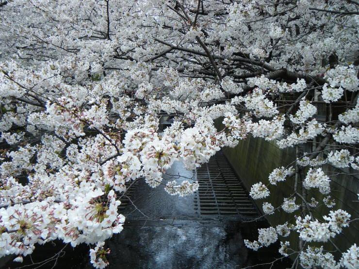サクラサク、咲きますように。桜づくし。。。_e0060341_1430230.jpg