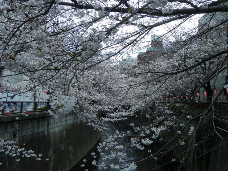 サクラサク、咲きますように。桜づくし。。。_e0060341_14305028.jpg